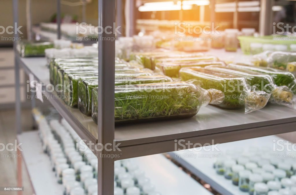 row of glass bottle plant tissue culture in laboratory stock photo