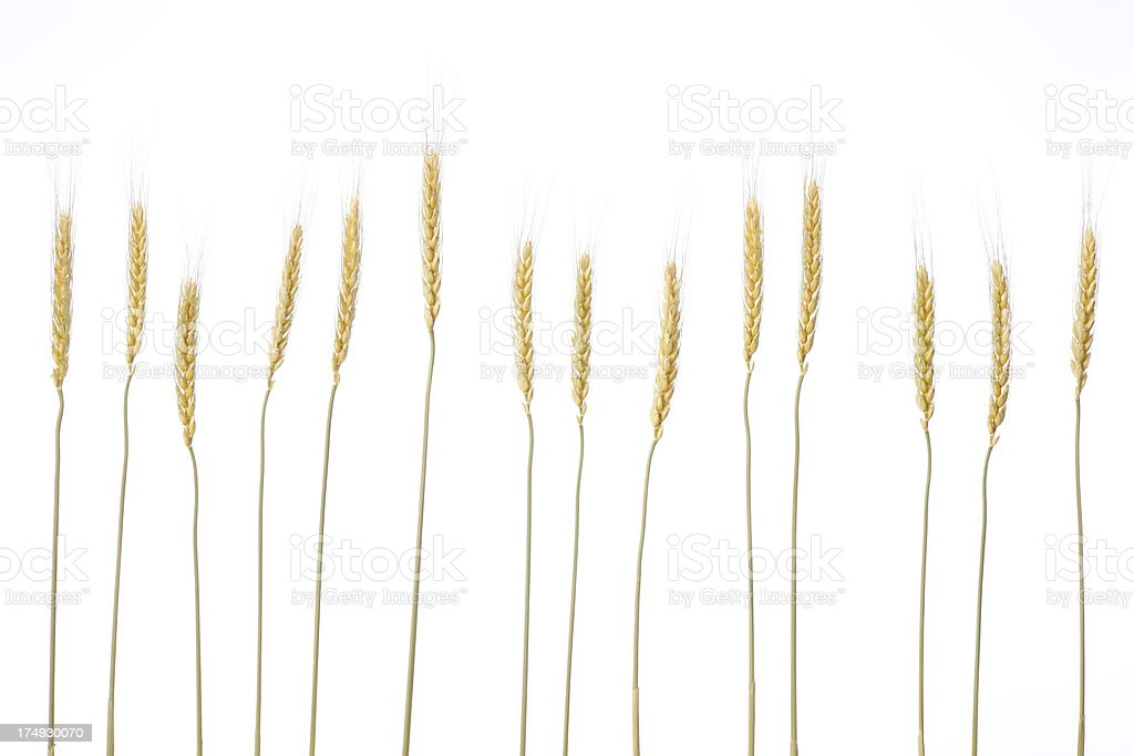 Row of gold wheat against white background stock photo