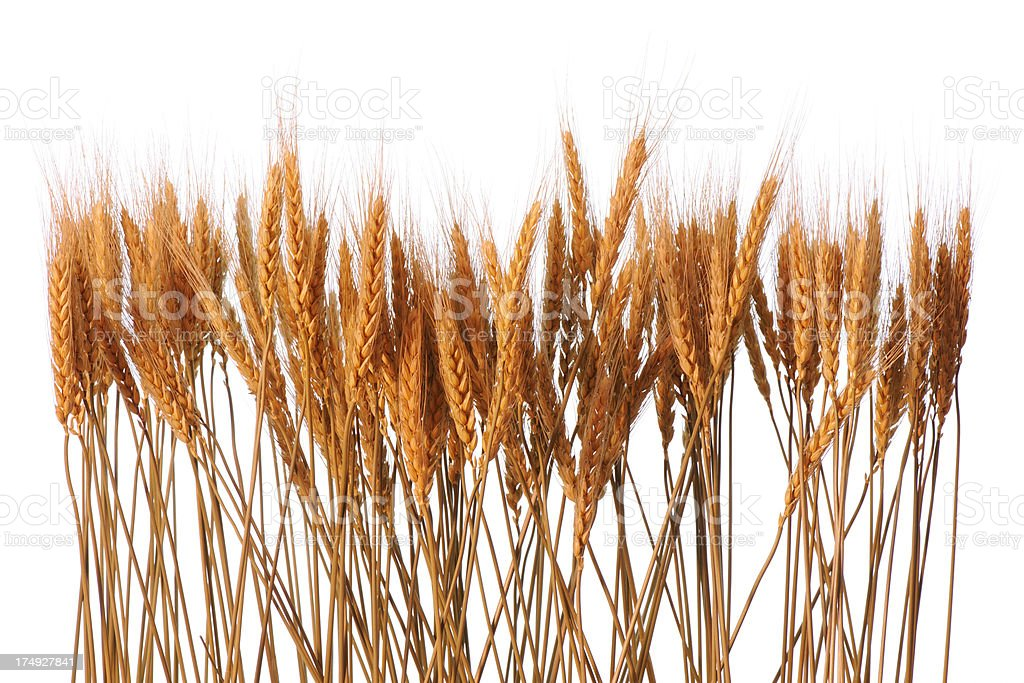 Row of golden wheat against white background stock photo