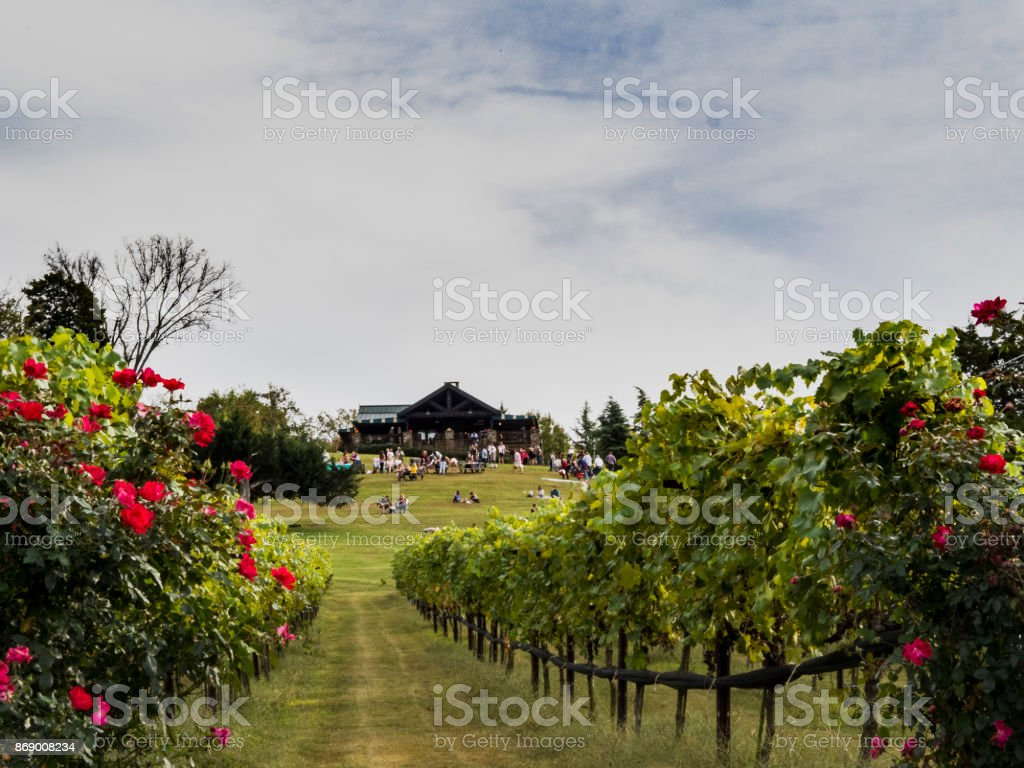Row of Grape Vines at a Vineyard stock photo