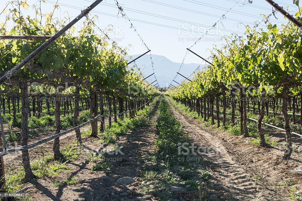 Row of Grape Vines in Southern California stock photo