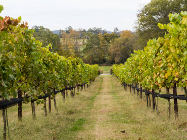 Row Of Grape Vines stock photo