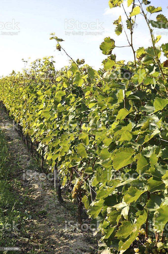 row of grapes at the vineyard, Tokaj, Hungary stock photo
