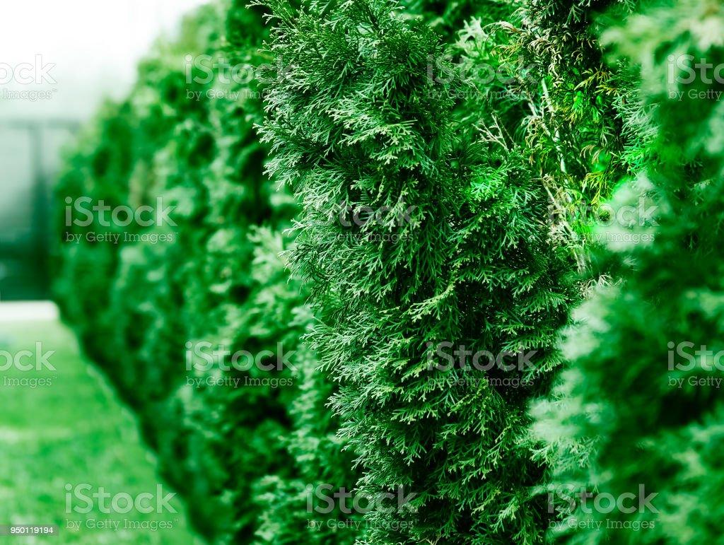 Row of green fir tree bokeh object background stock photo