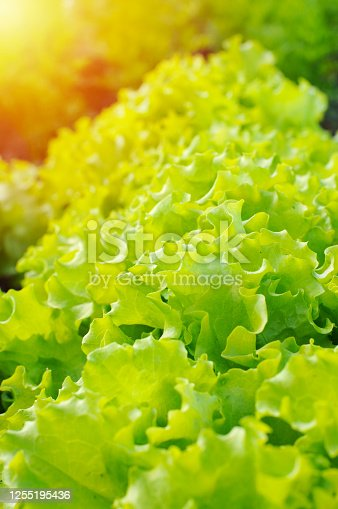 685555238 istock photo row of green leaf lettuce growing in the garden. flare 1255195436