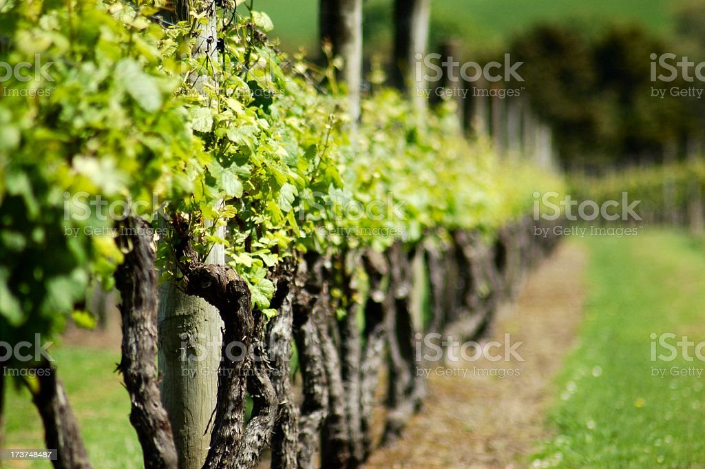Row of green spring vines fading in background royalty-free stock photo