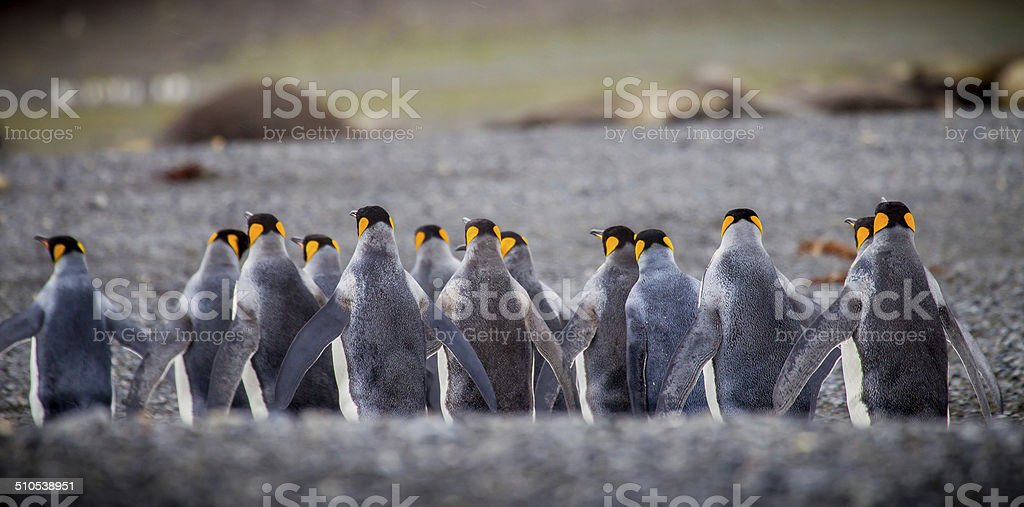 Row of king penguins from back stock photo