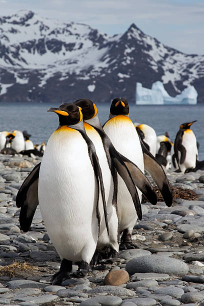 A row of king penguins in icy South Georgia stock photo