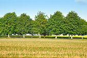Row of leafy trees with trunks painted white. Field with planted seedlings in the foreground.
