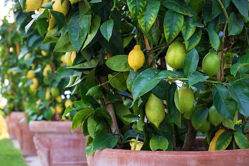 Row of Lemon Trees in Plant Pots