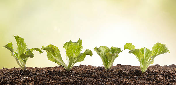 Reihe von Salat Setzlinge im Garten – Foto