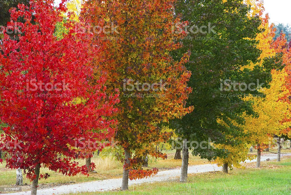 Row of liquid amber trees with stunning fall colours stock photo
