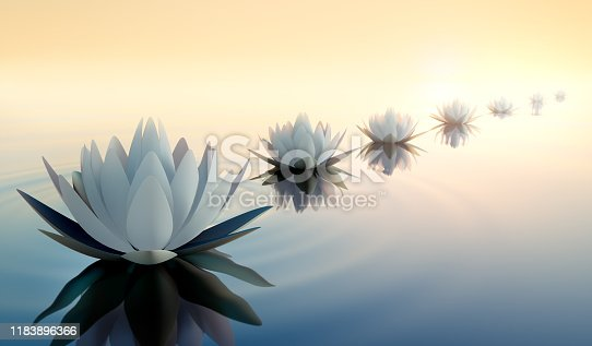 Row of white lotus flower or waterlily in calm sea with sunset or sunrise