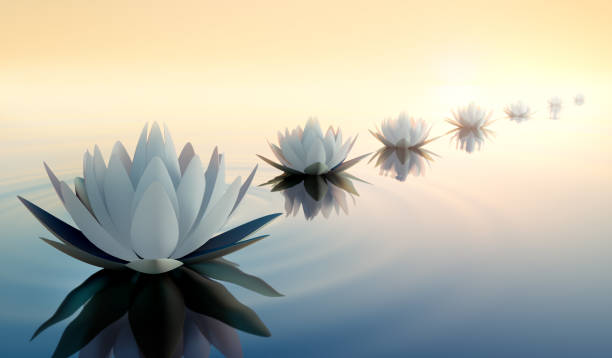 Row of lotus flower in the sunset stock photo