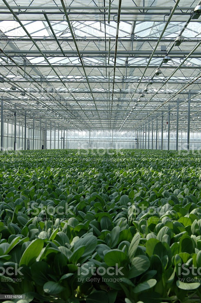Row of luscious greens in metal framed green house royalty-free stock photo