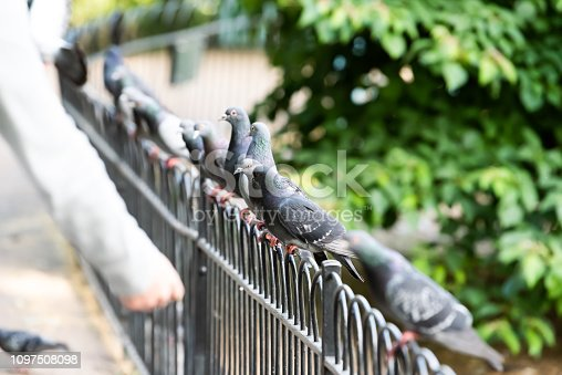 Row of many pigeon birds sitting perched on metal railing fence with bokeh background in London England UK St James park during day
