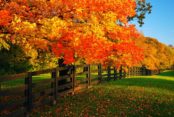 A row of maples in fall stock photo