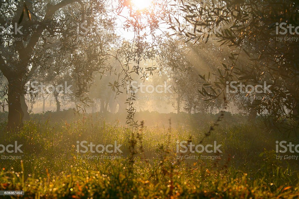 RURAL LANDSCAPE .Row of olive trees at dawn.-ITALY (Apulia)- stock photo