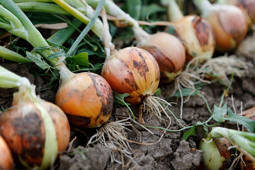 row of onions in a field, ready to be harvested