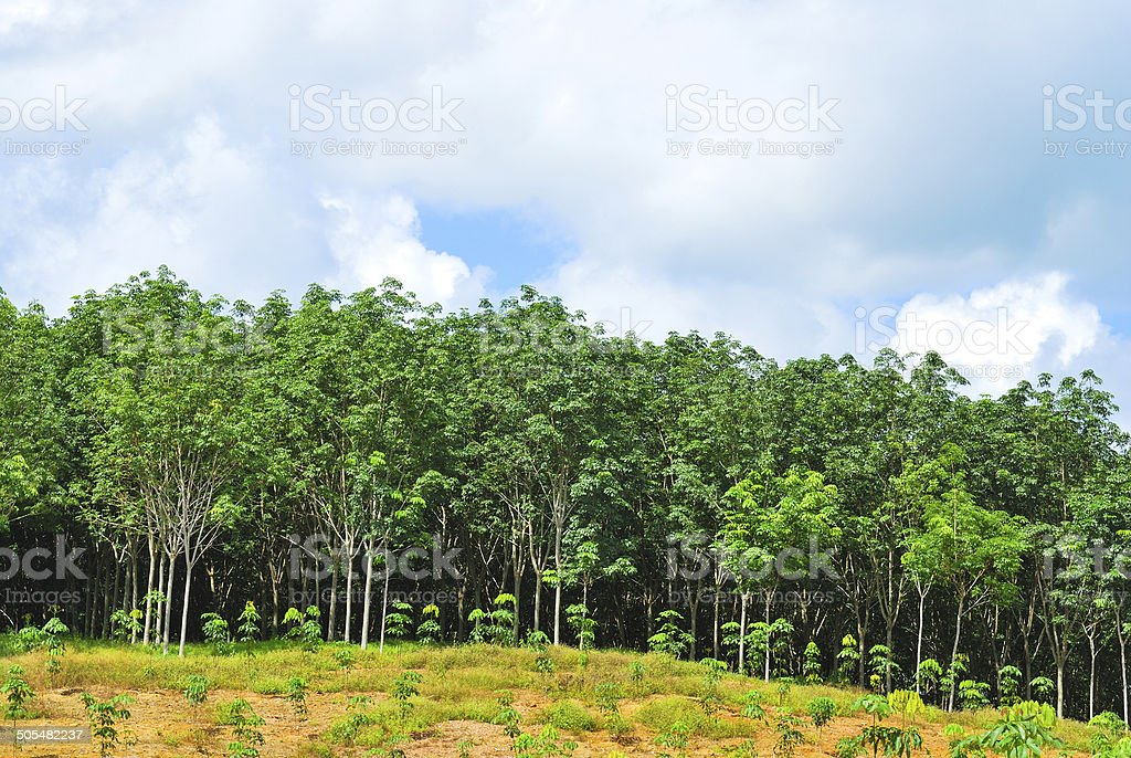 Row of para rubber tree stock photo