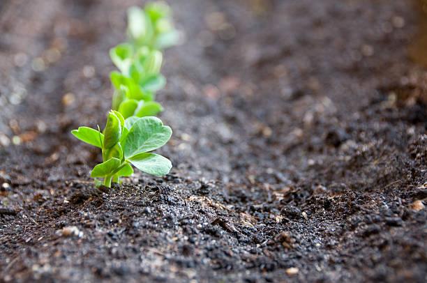 row of pea seedlings in soil with first seedling in focus - pea sprouts bildbanksfoton och bilder