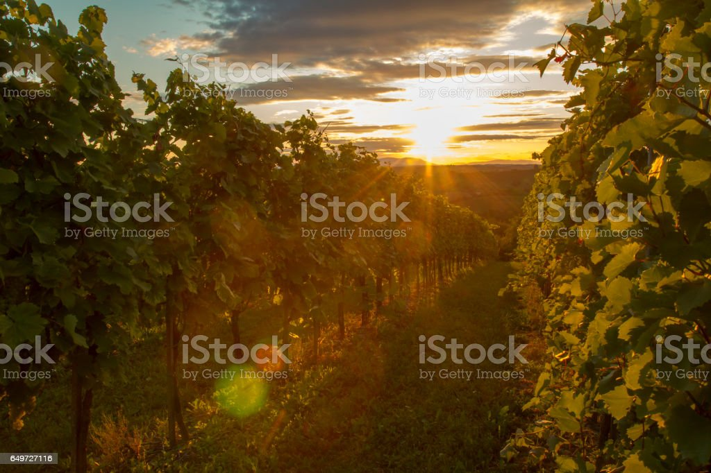 Row of plants at vinery during sunset stock photo
