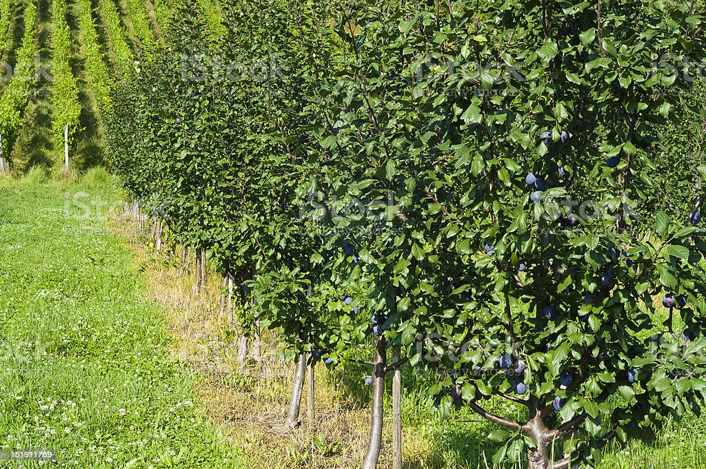 Row of plum trees in an orchard stock photo