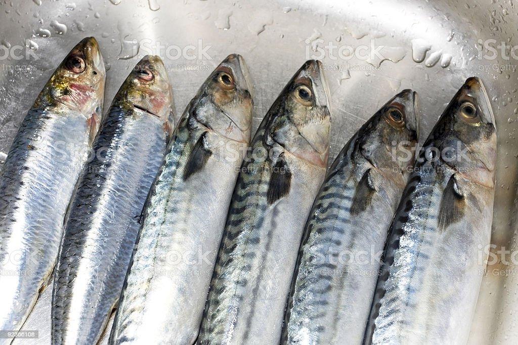 Row of prepared mackerel fish royalty-free stock photo