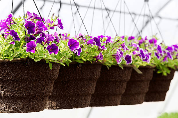 A row of purple greenhouse seedlings in bloom stock photo