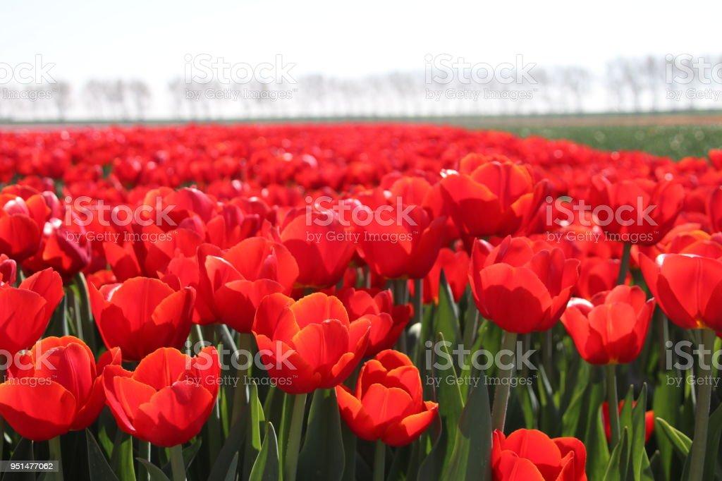 rij van rode tulpen type