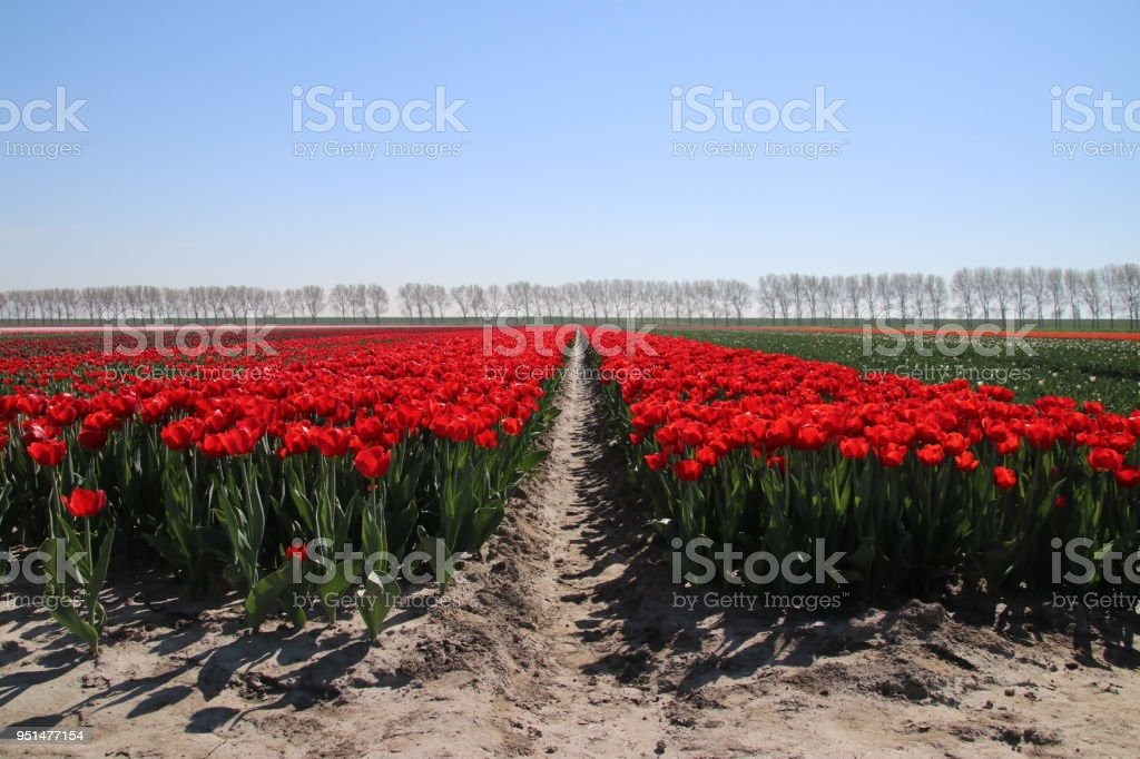 row of red tulips type 'rescue' in sunlight in rows in a long flower field in Oude-Tonge on the island Goeree Overflakkee in the Netherlands. stock photo