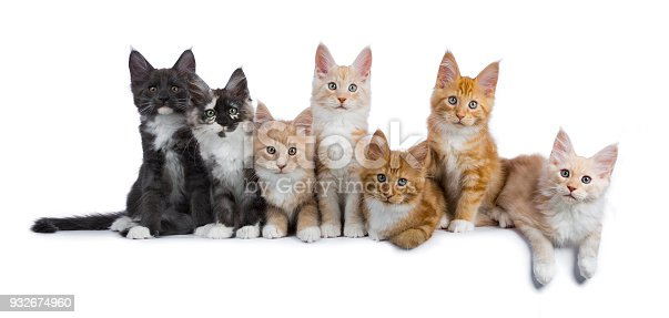824824466 istock photo Row of seven maine coon cats / kittens looking at camera isolated on white background 932674960