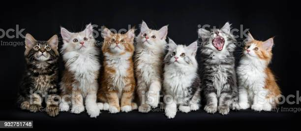 Row of seven maine coon cats kittens sitting laying down looking up picture id932751748?b=1&k=6&m=932751748&s=612x612&h=jel9wcuak3r6kdhvptlijl0kiwj2tzly9nc142zm3tm=