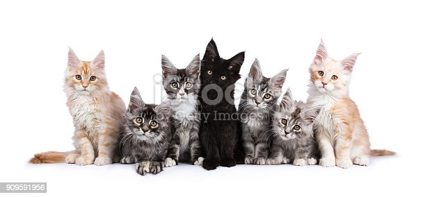 824824466 istock photo Row of seven Maine Coons facing camera isolated on white background 909591956