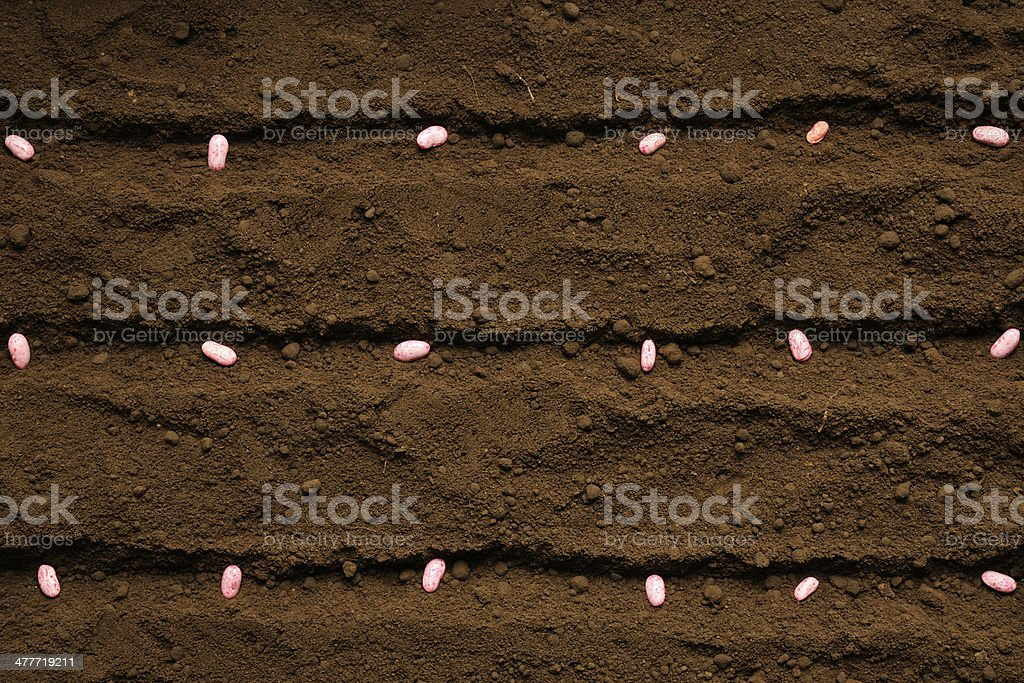 Row of sowing haricot bean seed on fertile soil stock photo