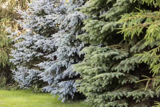 Row of Spruce Trees stock photo