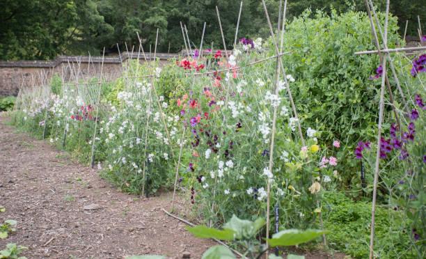 Reihe von süßen Erbsen in ummauerten Garten in devon England – Foto