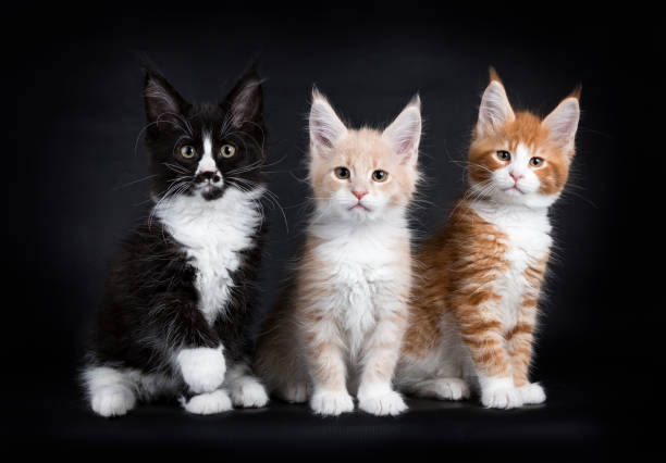 Row of three maine coon cat kittens isolated on black background picture id858967592?b=1&k=6&m=858967592&s=612x612&w=0&h=kgl0ovs dukqarj033abbljqjgngtqoocqrmxpi6jy0=