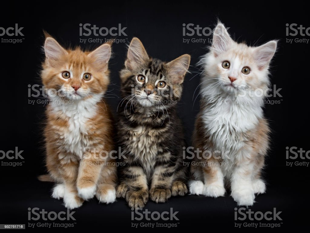 Row Of Three Maine Coon Cats Kittens Sitting Looking At