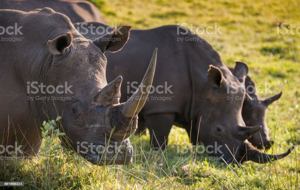 A row of three white rhino in the South African grassland stock photo