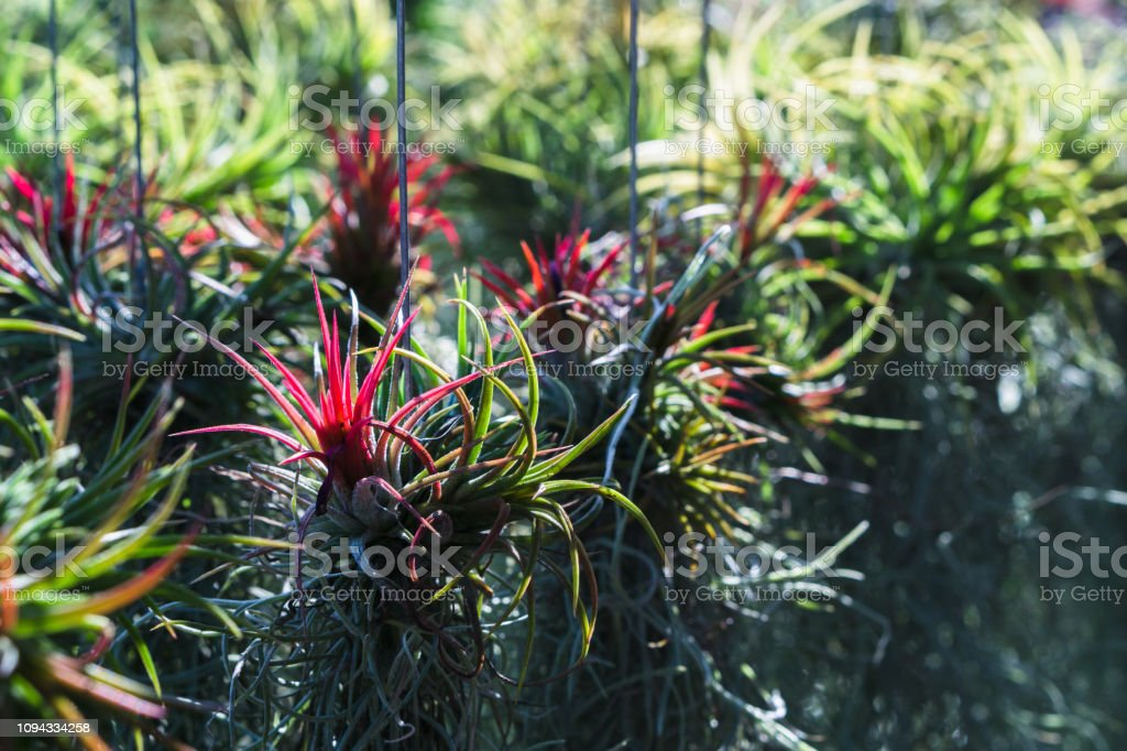 Row of Tillandsia airplant in the garden.