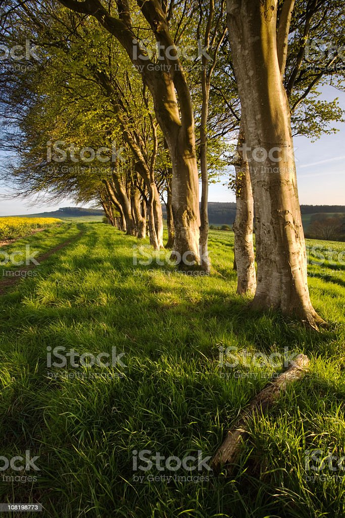 Row of Trees in Green Field During Evening Sunset royalty-free stock photo