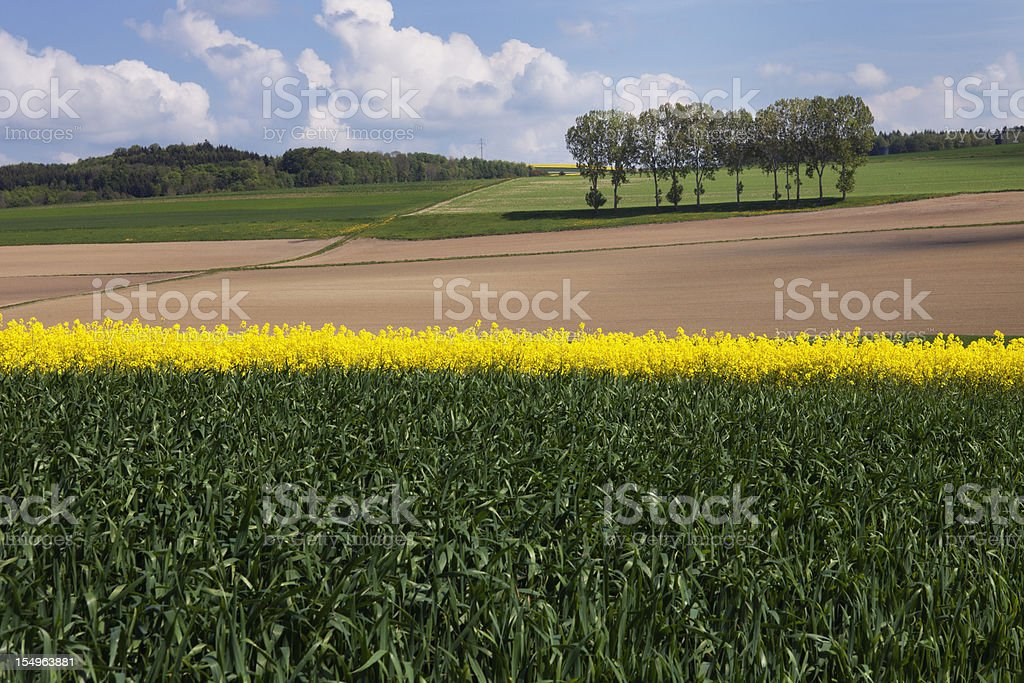 Row of Trees in Spring Field with Colza and Wheat royalty-free stock photo