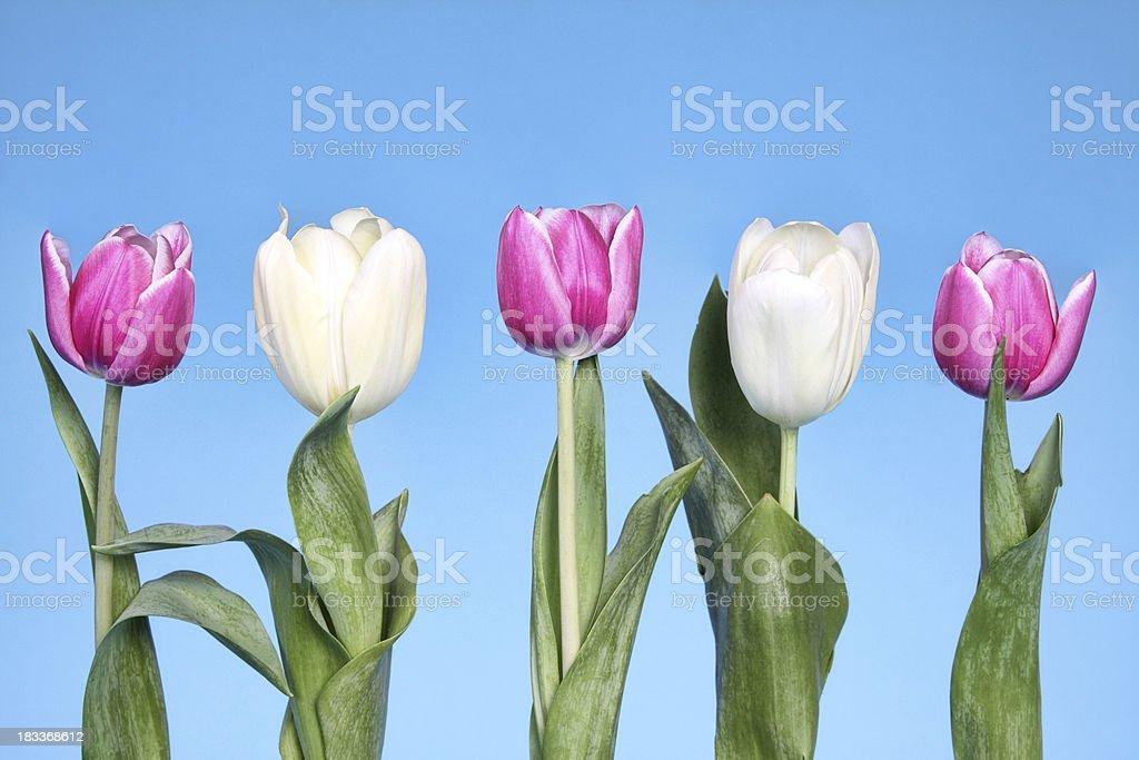 Row of Tulips royalty-free stock photo