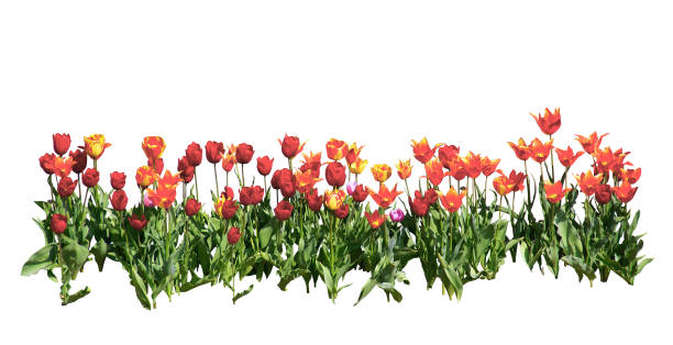 튤립의 행입니다. 흰색 배경입니다. - 관상용 식물 뉴스 사진 이미지