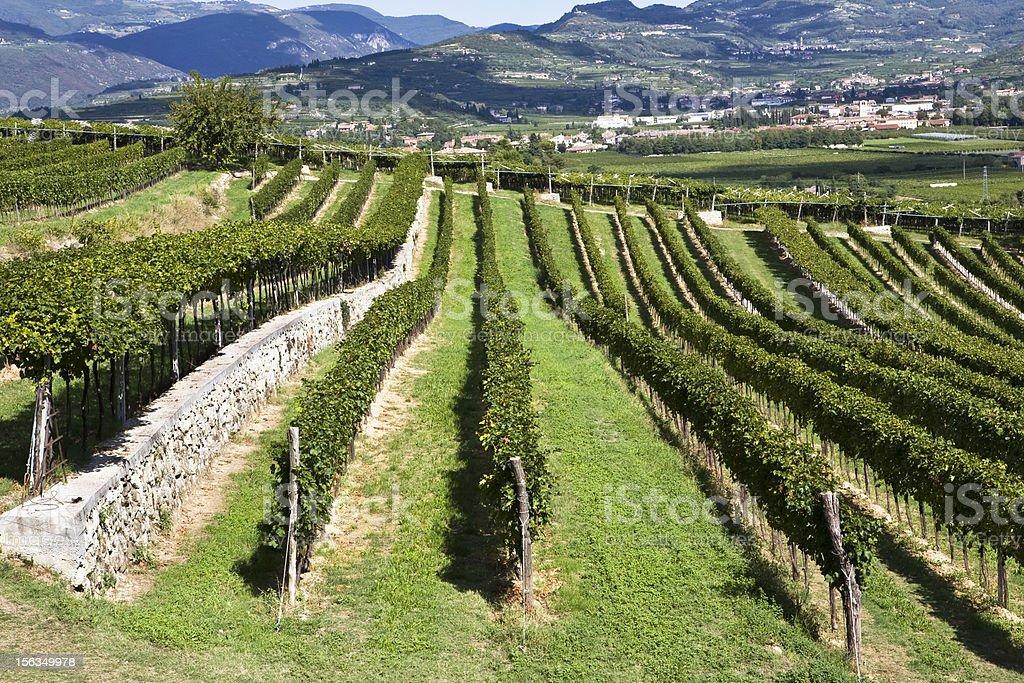 row of vine royalty-free stock photo