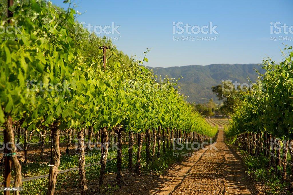 Row of Vineyard Grapvines, Santa Ynez, CA stock photo