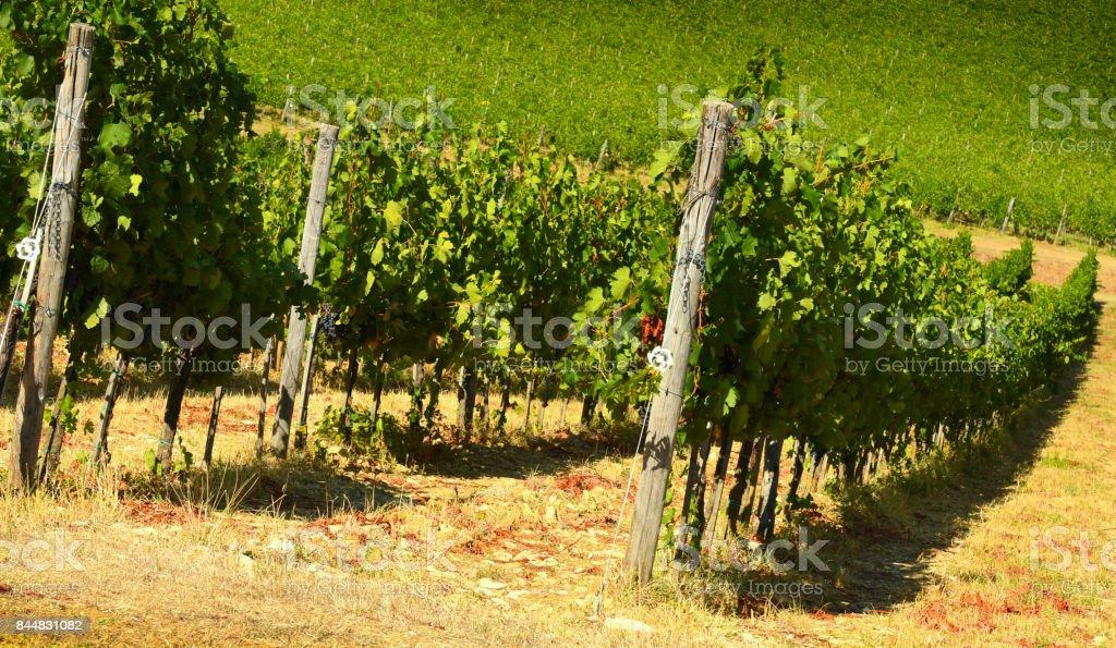 Row of vineyard in Chianti region, Tuscany, Italy. stock photo