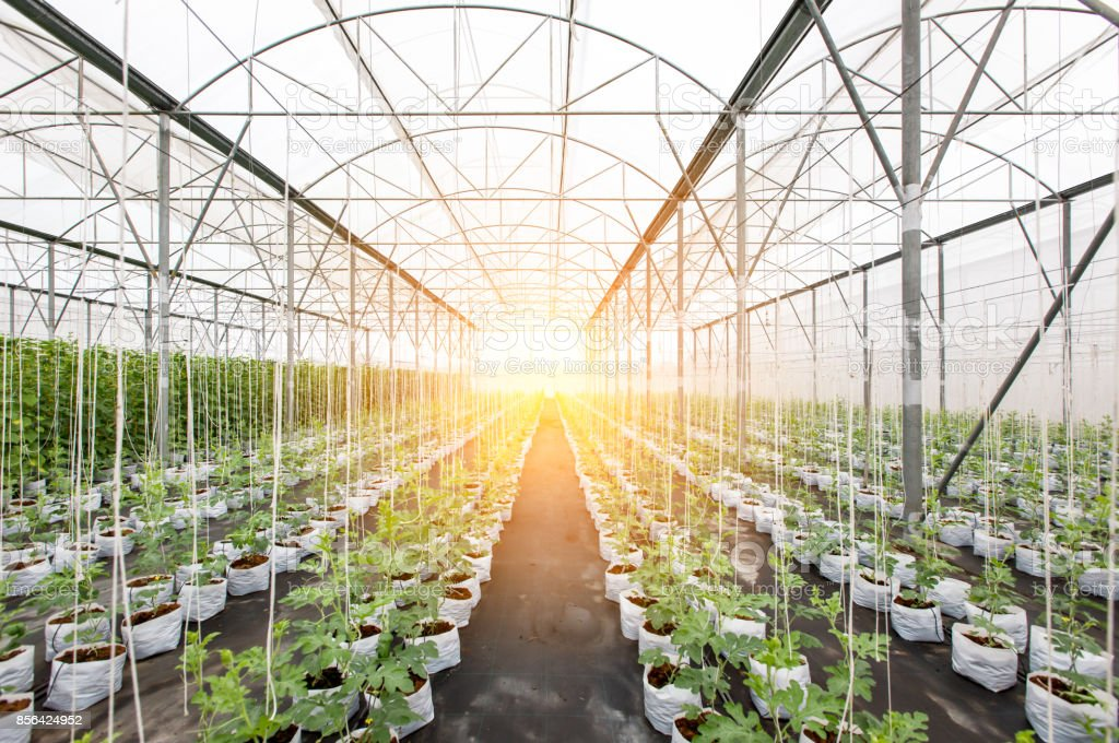 row of watermelon plant in greenhouse stock photo
