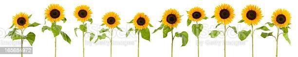 Photo of Row of wet sunflowers (XXXLarge)